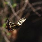 飛んでるところを撮ろうと走りながら撮りますが、本日はうまくいきませんね、ギフチョウ♂の飛翔、岡崎市2011.04.10