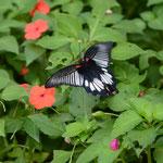 吸蜜のために飛び回るナガサキアゲハ♀ 名護市2012.09.23