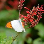 ベニツツバナで吸蜜するツマベニチョウ♂ 名護市2012.09.24 D7000+200mmマイクロ
