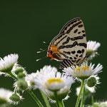 キマダラルリツバメ♀、いわゆる蝶の位置を黄金比に持ってくる構図ですね。もう少し新鮮なら、尾状突起がビシッと決まっていればという写真ですが、野外ではこんなもんでしょう。木曽町2011.07.12 E-5+シグマ150mmマクロ F4.0 1/400 iso400