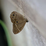 小屋の壁にとまり、口吻を伸ばしているクロヒカゲモドキ♂、岡崎市2012.07.14