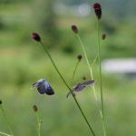 ワレモコウで産卵しているゴマシジミ♀を撮影していると♂がちょっかいを出してきます。長野県某所2012.08.19