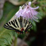 3番目のポイントでなんとか撮ったショウジョウバカマで吸蜜するギフチョウ♂砺波市2012.04.15 D7000+200mmマイクロ
