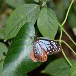 キジョラン?らしい葉を探しながら飛び続けるアサギマダラ♀ 豊橋市2012.10.20