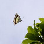 樹上を飛びまわるフタオチョウ♂、沖縄島南部2012.03.16