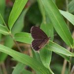 ヒメヒカゲ♂の開翅、思っていたより新鮮な個体でした。新城市2012.06.09 E-5+EC14+ZD50mm