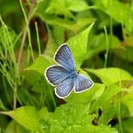 アサマシジミ♂(いわゆるミョウコウ型?)の開翅、淡いブルーが美しい 長野県北部2012.07.01E-5+EC-14+50mmマクロ