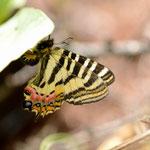 上のウスバサイシンと同じ葉に産卵しているヒメギフチョウ♀朝日村2012.05.04 D7000+200mmマイクロ