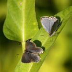 ほんのwずかな時間でしたが、ヤマトシジミ♂が翅を開閉させながら♀に近づいてきました。