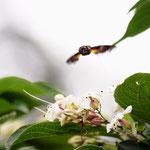 クサギの花に吸蜜に来るホウジャク(正面)長久手市2012.08.13 E-5+ZD50-200