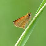 ついに、丸瀬布でも見られるようになったカラフトセセリ♂の裏面、侵入害虫ですが結構きれいですよね 丸瀬布2012.07.06