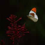 ベニツツバナへ吸蜜に訪れるツマベニチョウ♂ 名護市2012.09.24 D7000+200mmマイクロ