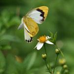 ナミエシロチョウ♀がセンダングサの吸蜜から飛び立った瞬間、東村2011.09.30E-5+シグマ150mmマクロ