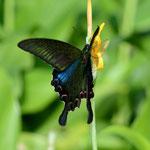 ちょっと花の名前がわかりません、吸蜜に訪れたヤエヤマカラスアゲハ♂ 石垣島2012.11.25 D7000+200mmマイクロちょっとトリミング