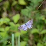 ちょっとピントは甘いが、これくらいなら許せそうな青い♂、長野県某所2012.08.19