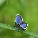 ヒメシジミ♂の半開翅 ヒメシジミでもきれいなものはきれいですね(こんなアングルがいい)長野県北部2012.07.01E-5+EC-14+50mmマクロ