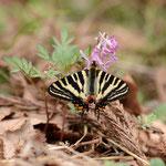 狙い通りヤマエンゴサクで吸密するギフチョウ♂、白川村2012.04.30 D7000+85mmマクロ