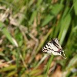 ホソオチョウ♂はゆっくり飛んでいるんですが、なかなかフレームに入りません。