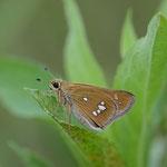 釜無川の河川敷で次に出てくる蝶を撮影していたところ、ミヤマチャバネセセリ♀がとまっていました。南アルプス市2012.09.01 D7000+200mmマイクロ