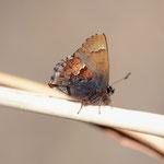 ギフチョウが出てこないので、やむを得ずコツバメ♂を撮影です、浜松市天竜区2012.03.27 D7000+85mmマイクロ(トリミングなし)