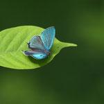 9時前にはオオミドリシジミ♂が目線より下でテリ張りです。後翅には白線のような鱗粉が乗っているんでしょうか。