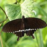 宮古島は蝶に種類が少なかったんですが、シロオビアゲハの開翅も見られました。E-5シグマ150mmマクロ2011.03.05
