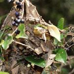 ヒサカキの蜘蛛の巣に枯葉がくっついたねぐらで4頭確認できます、豊橋市2010.12.07