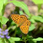 ギンボシヒョウモン♂の開翅、この蝶が飛ぶようではカラフトヒョウモンは終わってます。置戸町2012.07.07