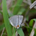 下草に下りてきたヒロオビミドリシジミ♀、下のほうへ行きましたが見失いました 兵庫県西部2012.06.15 D7000+200mmマクロ