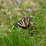 背景が悪く、翅に草もかかっています。きれいな赤上がりの雌だけに残念です。ギフチョウ♀白川村2012.04.30 D7000+85mmマクロ(ちょっとトリミング)