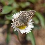 アポイアズマギクで吸密するヒメチャマダラセセリ♂ アポイ岳2012.05.18 D7000+200mmマイクロ