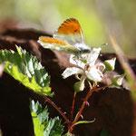 比較的きれいな♂ですが、少しアングルが悪いですね。この花での吸蜜時間は10秒くらいありました。2011年6月4日(土)