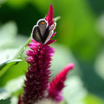 ツバメシジミ♀のケイトウでの吸蜜、これもちょっとトリミングしていますが、視野率100%は使いやすいですね。2011.10.08