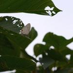 午前中、ゆっくりと飛翔しながら占有行動をとるシロウラナミシジミ♂西表島2012.11.23 D7000+200mmマイクロちょっとトリミング