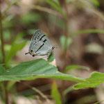 アベマキのヒコバエ葉上に止まっているミズイロオナガシジミ♀?、長久手市2012.06.04 やや明るい感じの個体ですE-5+EC14+ZD50mmマクロ