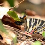 ギフチョウ♀の産卵、2012.04.19南越前町(産卵する植物を探索しながら飛んでいましたので、しつこく追いかけ回して撮影しました)