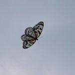オオゴマダラの写真ですが、まあ、野外で撮ったことを強調するために、ピンとは目をつぶりましょう