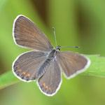 アサマシジミ♀(北海道亜種)の開翅、ちょっと近づきすぎですね、十勝地方2012.07.08 D7000+200mmマクロ