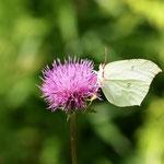 アザミにヤマキチョウ♀ですが、ピーカンで蝶が白飛び気味ですね。太陽はほぼ真上ですので、傘でもないと影は出来ませんし、逃げられてしまいます。木曽町2011.08.13 E-5+シグマ150mmマクロ F5.6 1/320 iso200