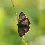 クロミドリシジミ♂クヌギから下りていただき、翅も開いてもらいました。豊田市2012.06.10 D7000+200mmマイクロ
