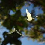 ウスキシロチョウ♂の追尾飛翔、那覇市2011.09.29E-5+EC-14+ZD8mm(トリミング)