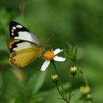 ナミエシロチョウ♀はきれいな蝶だと思います、本部町2011.10.02 E-5+シグマ150mmマクロ