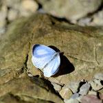撮影ポイントで最初に見た蝶、サツマシジミ♂の開翅、古座川町2012.11.03 D7000+200mmマイクロ