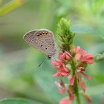 タヌキコマツナギの花で吸密するタイワンヒメシッジミ♂ 西表島2012.11.24 D7000+20mmマイクロ