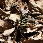 雑木林の中を見ていると、少し明るくなった日だまりにギフチョウが飛んでいますギフチョウ♂豊田市藤岡町2011.04.07 E-5 シグマ150mmマクロ」