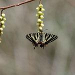 3番目のポイントで撮ったキブシで吸蜜するギフチョウ♂砺波市2012.04.15 D7000+200mmマイクロ