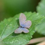 ホリイコシジミ♂の開翅ですが、もうちょっときれいな個体だとうれしいんですがねえ。西表島2012.11.24 D7000+200mmマイクロ