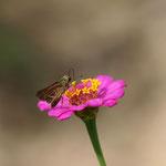 ヒャクニチソウの鮮度がよいイチモンジセセリ♀の吸蜜写真としました。半田市2012.10.06