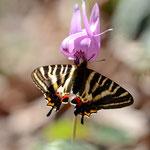 ギフチョウ♀のカタクリでの吸蜜、2012.04.19南越前町(逆光で好き嫌いはありますし、やや擦れた個体しか撮れませんでした)