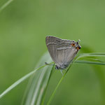 下草に止まったヒロオビミドリシジミ♂、開翅せずに飛び去りました 兵庫県西部2012.06.15 E-5+EC14+ZD50mmマクロ